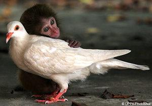 Macaque_pigeon_4